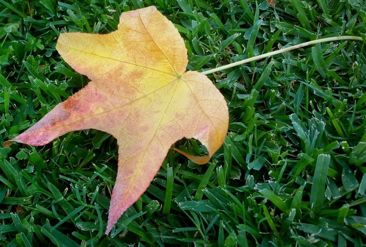 Natures Colors Natural Colors Leaf Vein Leaf Season  Autumn Close-up Change Check This Out Vibrant Color TakeoverContrast Nature Still Life Fine Art Photography Copy Space This Week On Eye Em Eye Em Nature Lover Pastels Tranquility Meditation Natural Condition Fallen Walking Around The Neighborhood