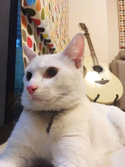 Arctic cat or