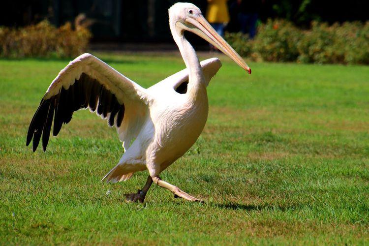 Pelikan Vogel