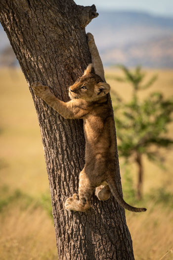 Lion cub climbing on tree trunk