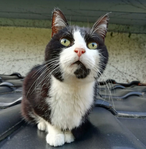Animal Themes Black And White Cat Catlovers Close-up Day Domestic Animals Domestic Cat Feline Housecat Indoors  Looking At Camera Mammal No People One Animal Pets Portrait Roofer Whisker