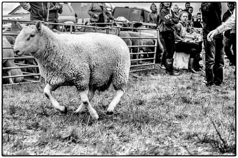 Agricultural show in Swinford, Ireland. August 2017 Ireland Agriculture Livestock Domestic Animals Animal Themes Mammal Field Agriculture Grazing Day Sheep People