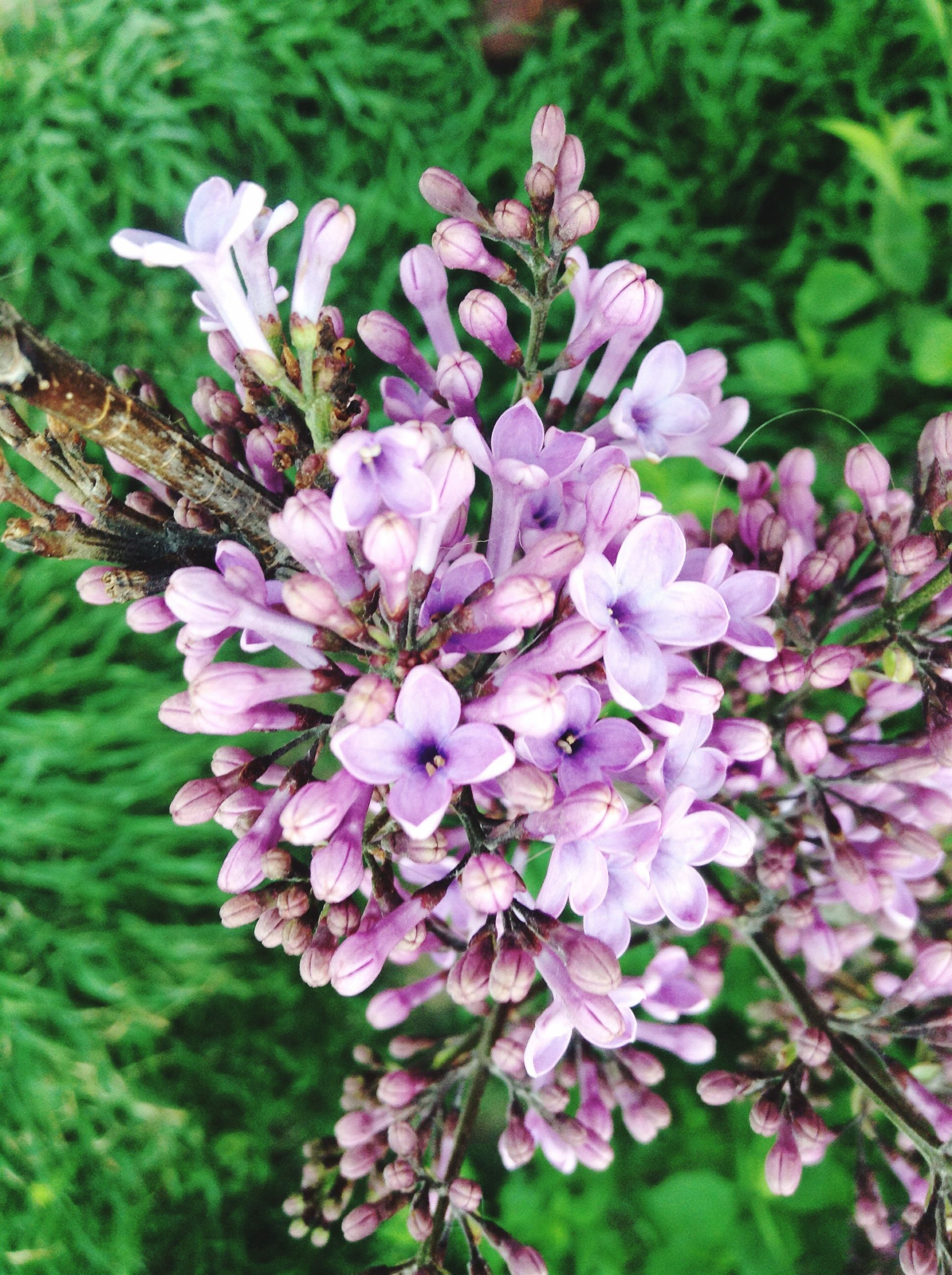flower, freshness, nature, beauty in nature, growth, fragility, purple, petal, blooming, day, flower head, close-up, no people, outdoors