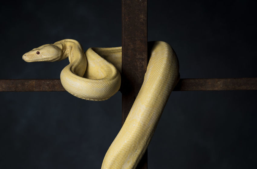 Animal Animal Themes Animal Wildlife Animals In The Wild Black Background Close-up Hanging Indoors  Metal No People One Animal Reptile Single Object Snake Still Life Studio Shot Vertebrate Wood - Material Yellow