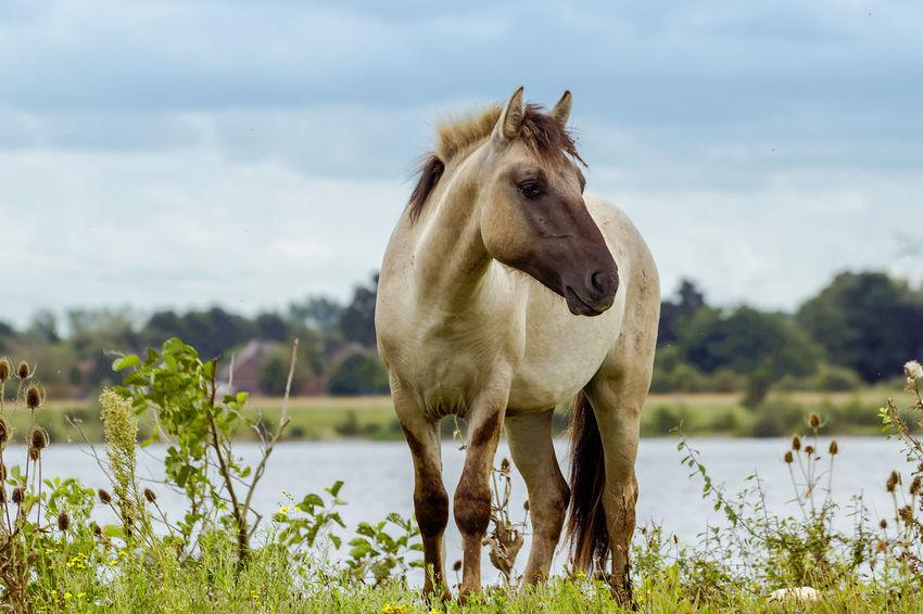 Konik horse at Molenplas near Maasbracht, Netherlands EyeEm Nature Lover EyeEmNewHere Horse Life Animal Themes Beauty In Nature Horse Horse Photography  Nature One Animal Outdoors EyeEmNewHere
