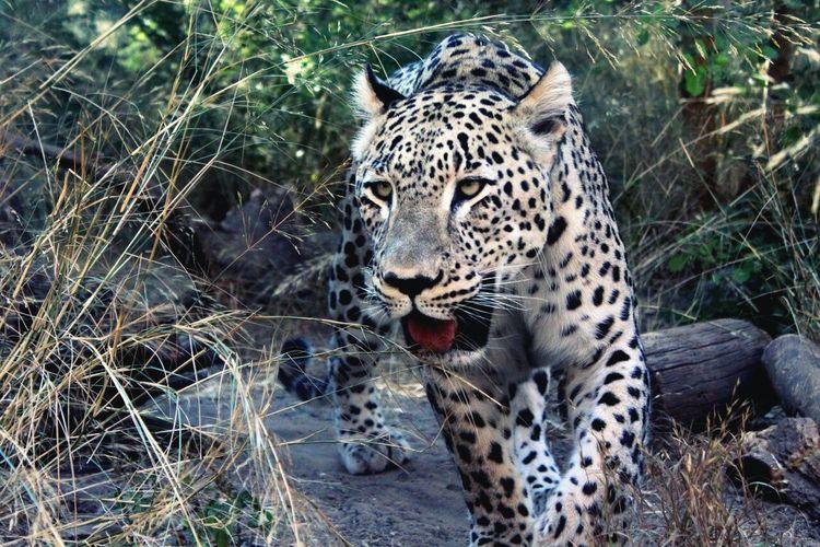 Wildlife Wild Nature Animals Leopard Endangered  Travel Spots