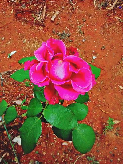Pink Rose Flower Nature Walking Alone...