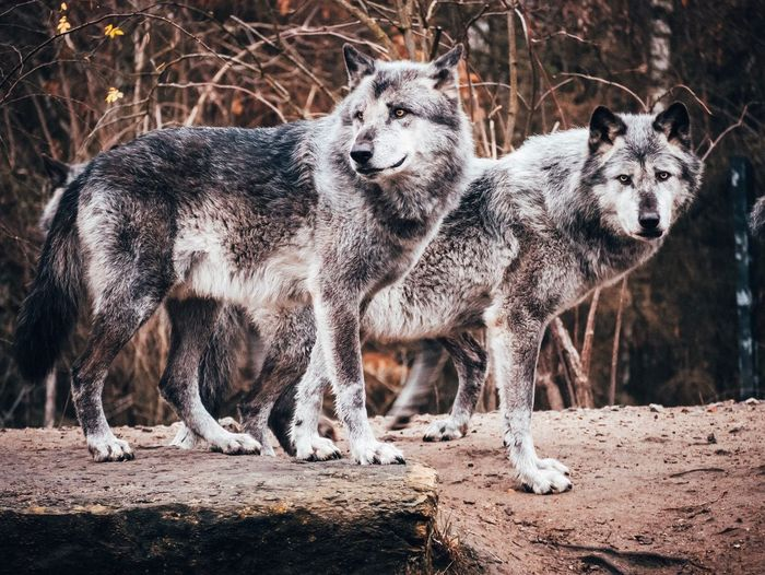 Wolvpack Wolves