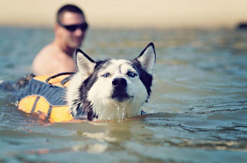 Husky Wearing Life Jacket Swimming On Sea Against Man