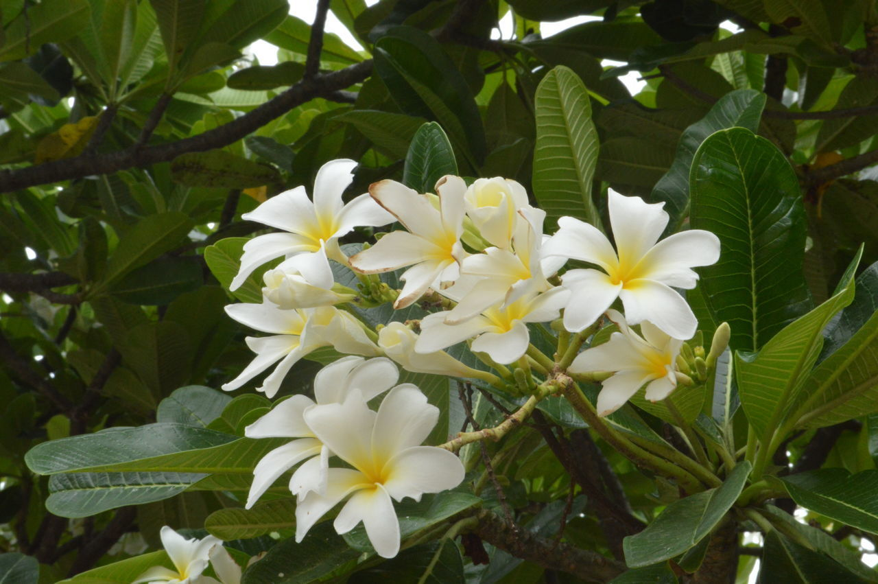 flower, plant, flowering plant, beauty in nature, fragility, freshness, vulnerability, growth, white color, petal, plant part, leaf, close-up, flower head, inflorescence, nature, no people, day, green color, botany, outdoors