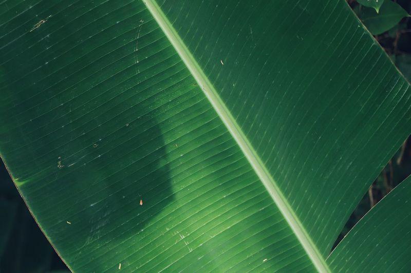 Directly above shot of banana leaf