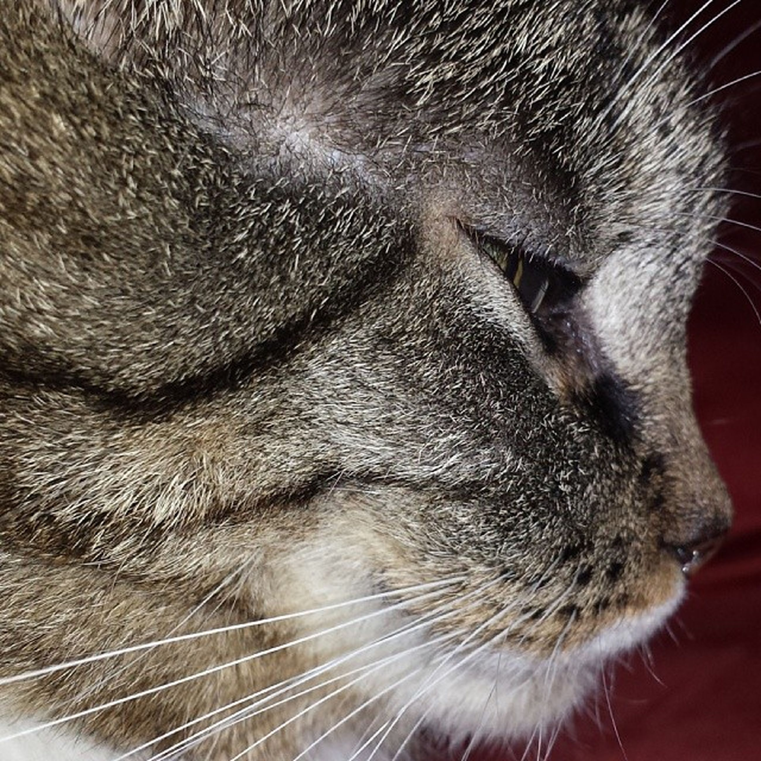 animal themes, one animal, domestic animals, mammal, pets, domestic cat, cat, whisker, feline, animal head, close-up, animal body part, indoors, animal hair, part of, animal eye, zoology, looking away, animal, no people