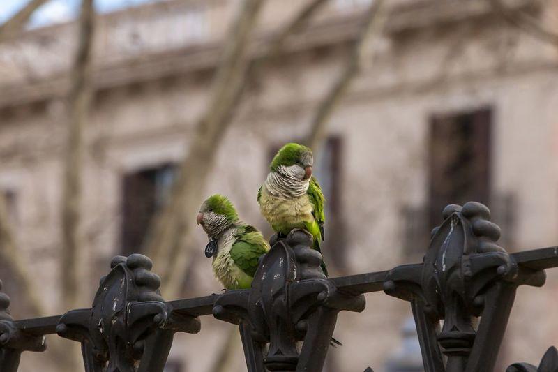 Canary Bird in