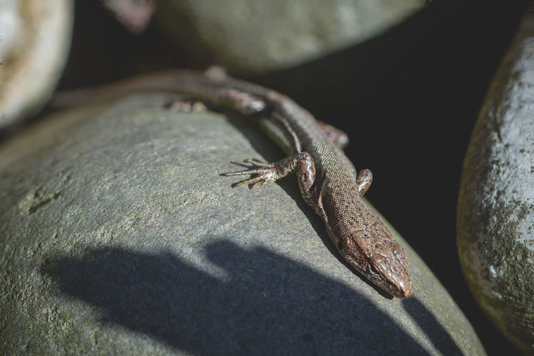 Lizard Animal Animal Wildlife Animals In The Wild Animal Themes Close-up Reptile One Animal No People Solid Lizard Vertebrate Nature Rock - Object Rock Day Sunlight Selective Focus Outdoors Shadow High Angle View Lizard