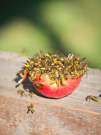 Close-up of wasps eating apple