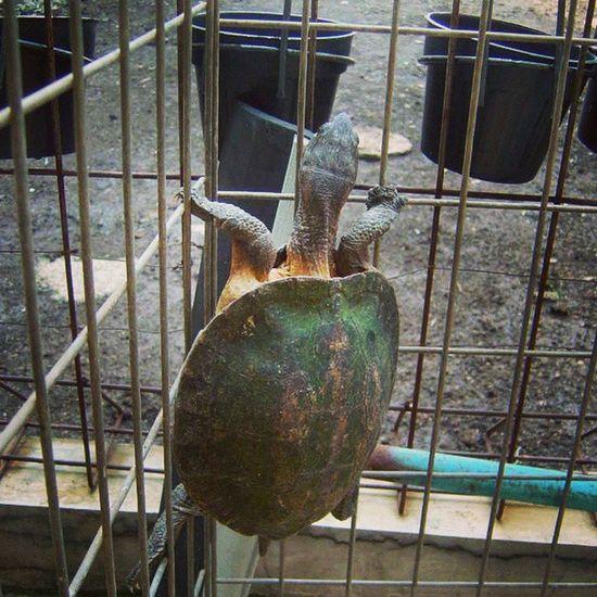 Ninja turtle! Animalsposing Iloveanimals Animal Turtle Animallovers Animalsofinstagram