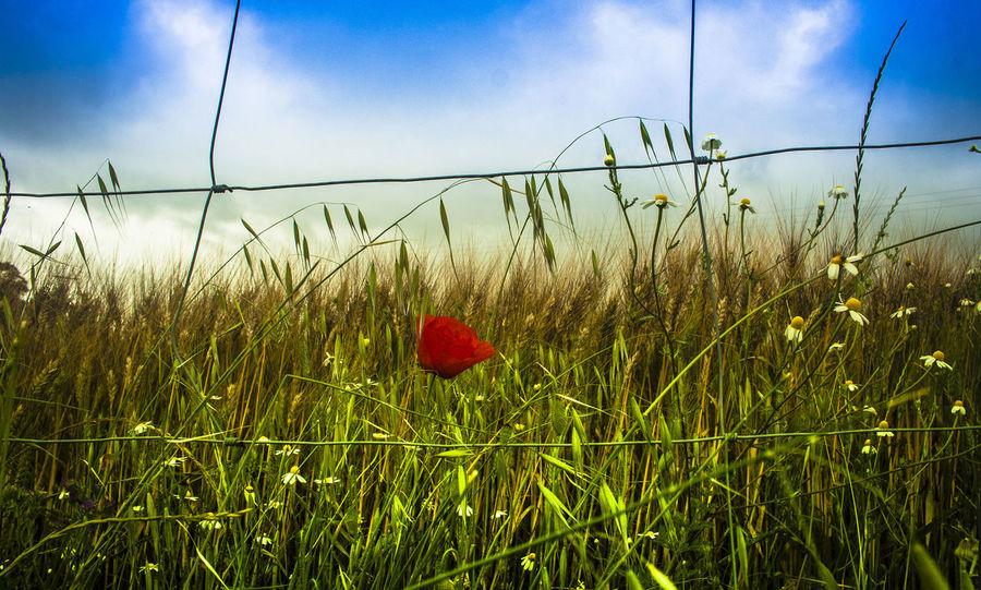 """""""Hay algo tan necesario como el pan de cada día, y es la paz de cada día; la paz sin la cual el mismo pan es amargo"""" — Amado Nervo Andalucía Nature Field Flower Growth Jaen Province Nature Rural Scene Sierra Morena Sky Trigal Trigales Trigo"""