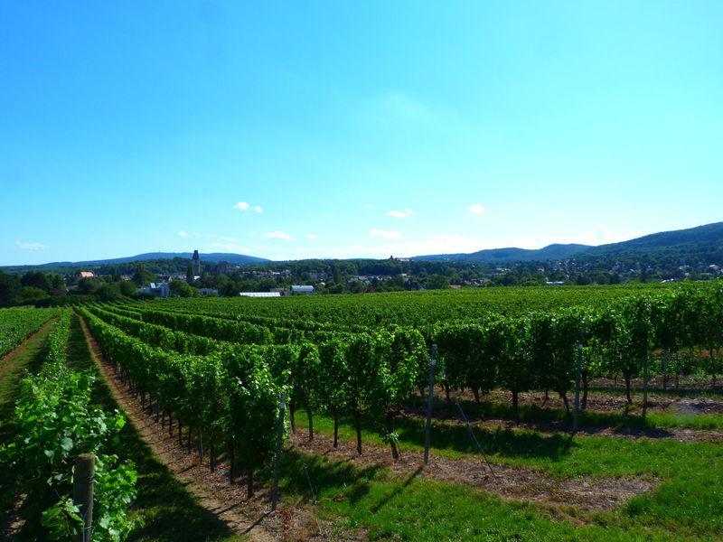 Austria Upper Austria  Wein Weinberg Weingarten Blauer Himmel Blue Sky No People Sommer Summer Vineyard Wine