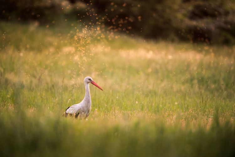 White stork on grassy field