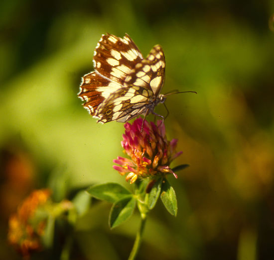 Animal Themes Beauty In Nature Butterfly - Insect Butterfly And Flowers Close-up Fragility Insects Collection Pollination