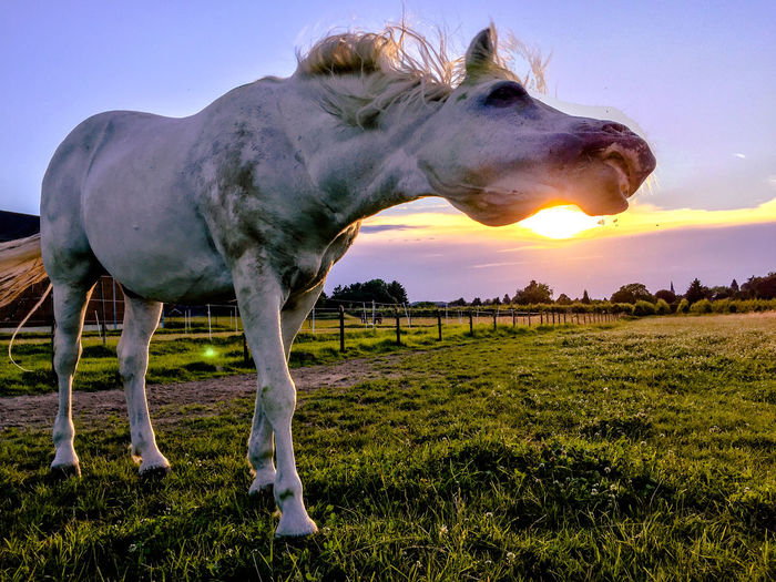 Axel & Boris Animal Head  Beauty In Nature Blue Sky And Sunset Cloud Cloud - Sky Day Domestic Animals Field Grass Grassy Horse And Sunset Landscape Livestock Mammal Nature No People Outdoors Sky Sun Sunlight Tranquil Scene White Horse
