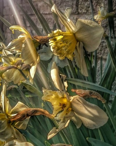 Colours Of Nature Light - Natural Phenomenon EeYem Best Shots Beauty In Nature Hdrphotography Hdr Collections Beautiful Nature Flowers, Nature And Beauty Flowerphotography Flower Head Flowers_collection Daffodils Flowerhead Colours Yellow Flowers Sunray Of Light Sunrays