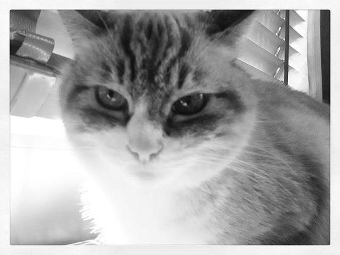 Luna Mylove Mycat LeChat Cat Miao Meow Gatta Nasinorosa Beautiful Catsoninstagram Mylove Mycat LeChat Posa 😚 Thenoiseofluna Musetto 😚 ❤ Blackandwhite Bw
