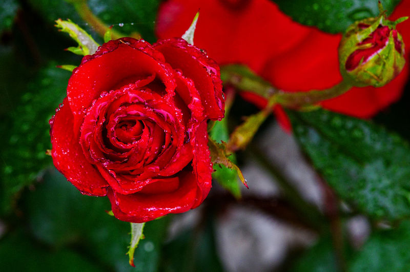 A red rose Love