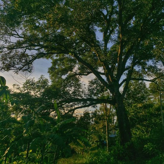 Kintamani Mobilephotography Tree Growth Nature Low Angle View Beauty In Nature Day Tranquility Forest No People Outdoors Green Color Leaf Branch Scenics Sky