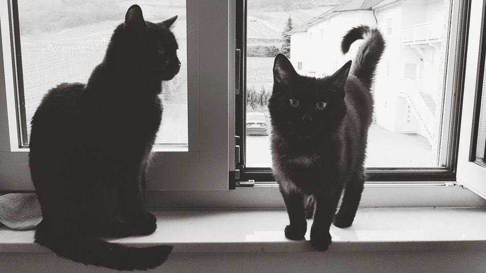 Domestic Cat Window Indoors  Looking Through Window Pets Cat Lovers Cats Of EyeEm Looking At Camera Cute Pets Black & White Black Cat Myblackcat Black Kitty Cat