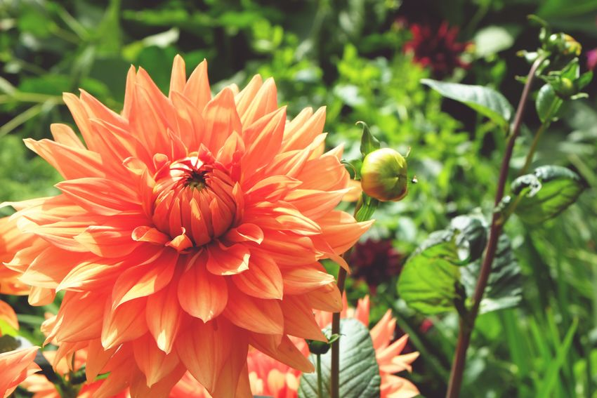 Dahlia flower Beauty In Nature Nature Plant Vibrant Color Close-up In Bloom
