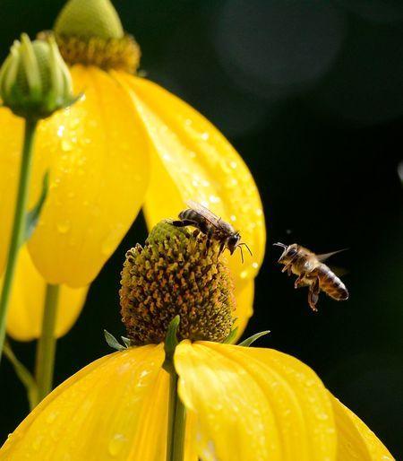 Honigbienen bei der Arbeit , honeybee Pure Nature Nature Nature_collection Yellow Yellow Flower Insect Flowerhead Honeybee On Flower Outdoors Pollen Plant Honigbiene Sonnenhut Flower Echinacea Honey Bees  HoneyBee Bees Bee