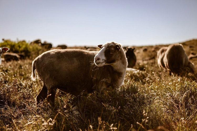 Sheep Sylt Schafe Schafe Sheep Mammal Animal Land Domestic Animals Animal Themes Field Nature Sky Domestic Livestock Clear Sky Environment Vertebrate No People Pets Landscape Plant Grass Day Cattle