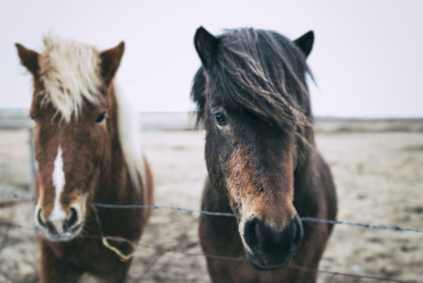 Horses in Iceland Animal Animal Body Part Animal Hair Animal Head  Animal Themes Brown Close-up Day Domestic Animals Field Focus On Foreground Herbivorous Horse Landscape Livestock Mammal Nature No People Outdoors Part Of Portrait Rural Scene Working Animal