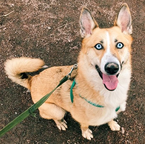 Shepsky Dog Pets Domestic Animals Portrait One Animal Animal Themes Sitting Lilu Lilushastik Shepsky Lilu The Shepsky