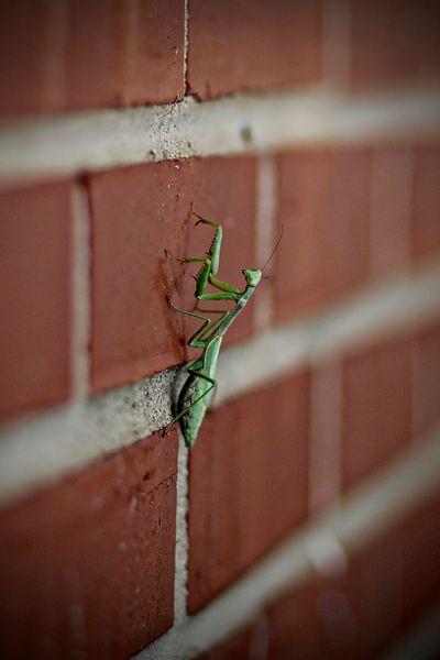 Defying gravity Bug Wall Close-up Crawling Green Insect Insect Nature Praying Mantis Red Brick Selective Focus