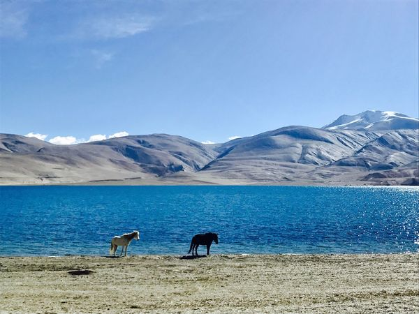 Tso Moriri, Ladakh, India Less Explored Places Of India North India India Tso Moriri Lake Ladakh Animal Themes Mammal Mountain Animals In The Wild Nature One Animal Day Tranquil Scene Mountain Range No People Tranquility Blue