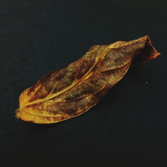 Leaf No People Studio Shot Autumn Yellow Close-up Black Background Nature Day Outdoors After The Rain Township Smartphone Photos Smartphonephotography Soweto Johannesburg Sophisticated EyeEm Selects SowetoSouthAfrica Nature