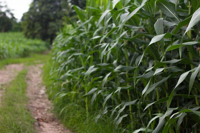 Corn Corn Is Green Corn On The Way Way Wayside