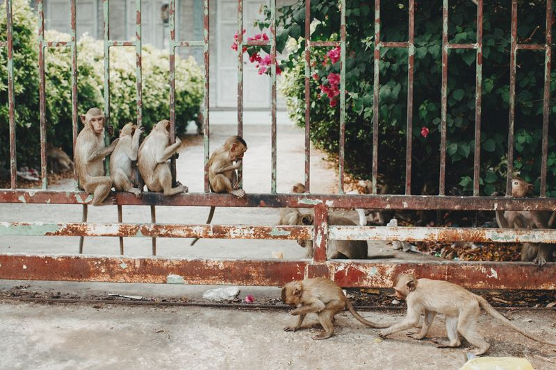 A troop of monkeys along a rusty fence in Thailand Monkey Family Family Group Cute Urban Wild Animal Wild Wildlife Monkeys Macaque Monkey Animal Themes Animal Mammal Group Of Animals Domestic Animals Pets Vertebrate Nature No People Fence