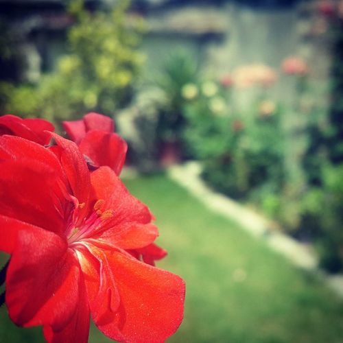 Flowers Flower Homegarden Hobbies Samsumg Glaxys4 Pakistan May Summertime