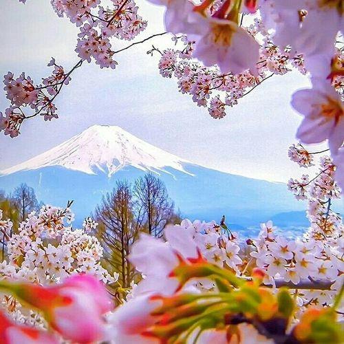 вулкан сакура Цветы 🌸🌷🌼🌹 Весна💐🌷🌿