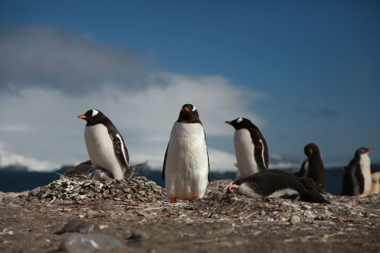 Pick up a penguin Animal Family Animal Themes Avian Beauty In Nature Bird Close-up Day Focus On Foreground Goose Lakeshore Medium Group Of Animals Nature No People Outdoors Selective Focus Sky Tranquility Water Bird Wildlife