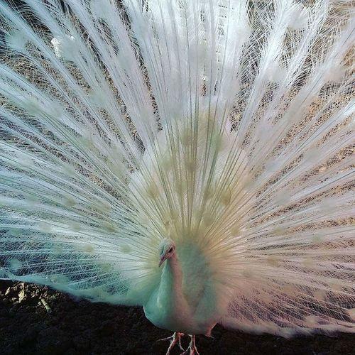 Peacock Peacock Colors Animal Themes Nature One Animal White Color White Turkish Happy Fotografia Kerpe_Kefken/Kocaeli/Turkey Kerpe Türkiye 💙💛 Türkei Fotografie Turkey💕 Art Gallery Outdoors Art Photography Fotograf Fotography Artphotography Wild Nature Wildlife