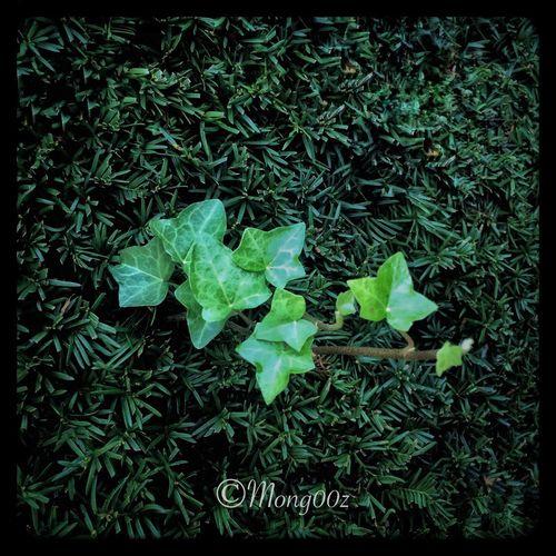 Ivy Green Color Taxus Nature Close-up Iloveivy Macro