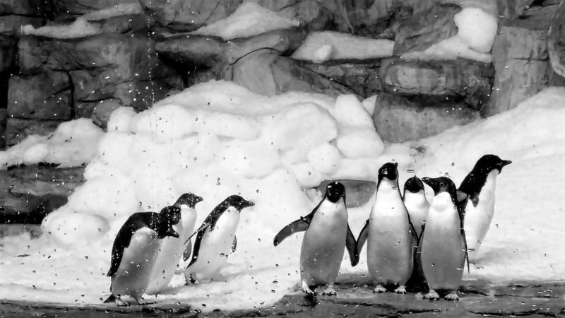 Pingüinos Zoo Blancoynegro First Eyeem Photo Shades Of Grey