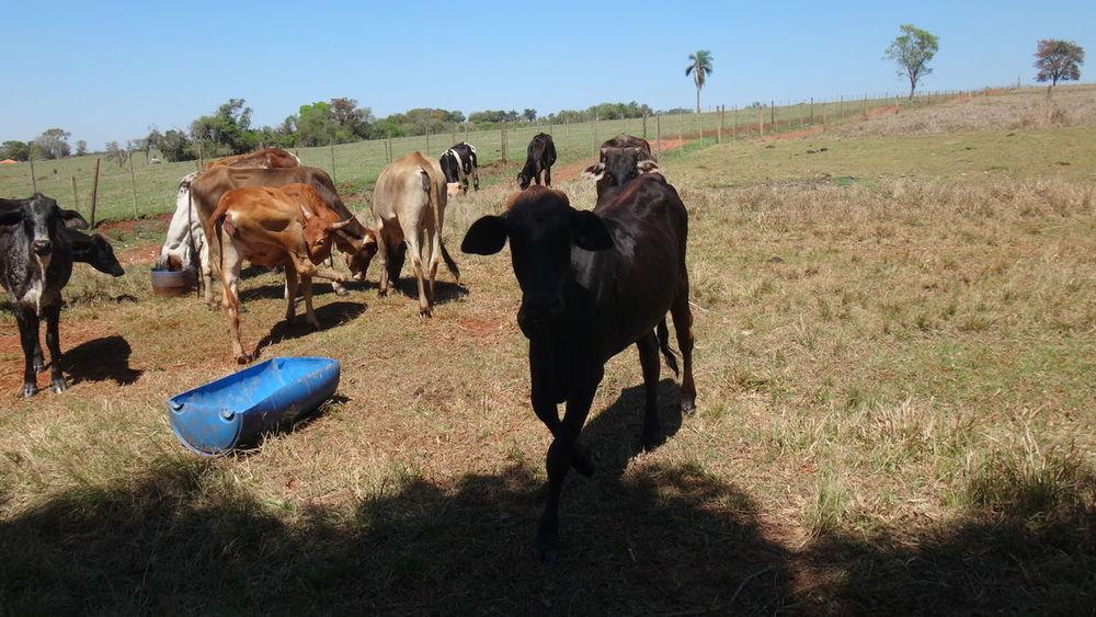 AVARE SAO PAULO BRAZIL Animal Themes Blue Clear Sky Cow Day Domestic Animals Domestic Cattle Eyeem Market EyeEm Team Farm Animal Field Green Color Herbivorous Herd Livestock Mammal No People Outdoors Pasture Sky Tranquil Scene