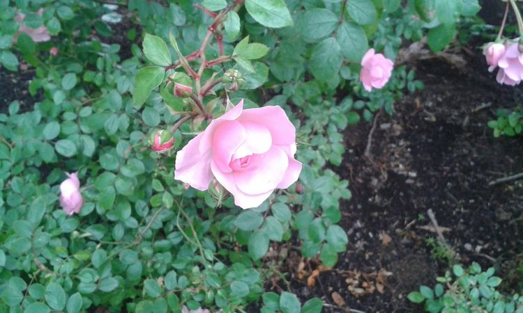 Roses Ownphotos My Own Photography Summer Nature Nature_collection Plants Roses Roses🌹 Outdoors Walking Around