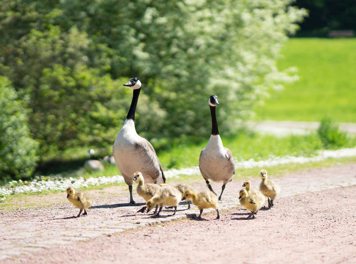 Beauty In Nature Canadian Geese Day Duck Family Goose Gooses Grass Nature No People Outdoors Parents And Children Walking Walking Around