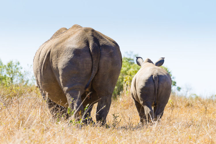 Rear view of rhinoceros with calf walking on field against sky